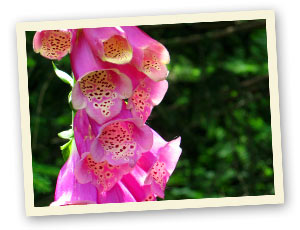 Fingerhut (Digitalis)