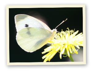 Kohlweißling (Schmetterling)