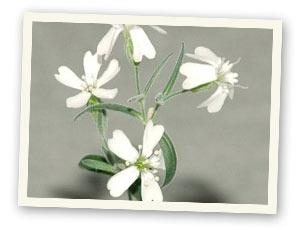 Silene stenophylla