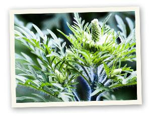 Ambrosia (Ragweed)