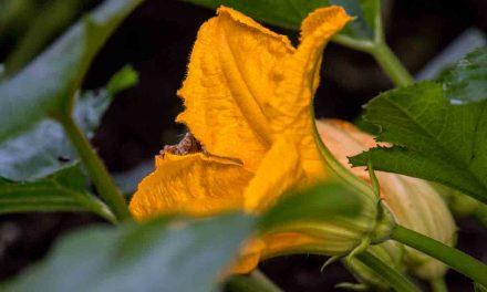 Handbestäubung für eine reiche Zucchiniernte