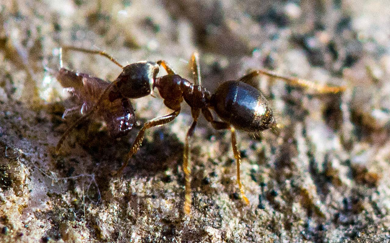 Ameisen vertreiben im haus fliegende ameisen in haus und - Ameisen vernichten im garten ...