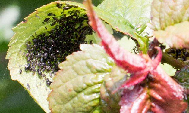 Blattläuse – Wie wird man sie mit natürlichen Mitteln los?