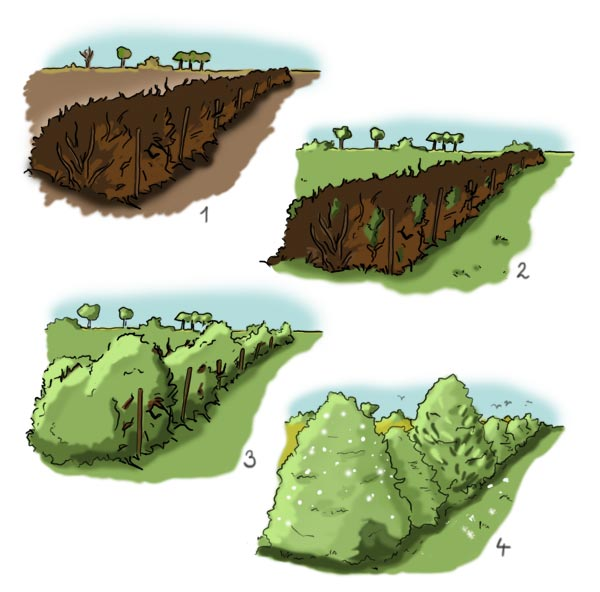 Entstehung einer Benjeshecke (Totholzhecke)