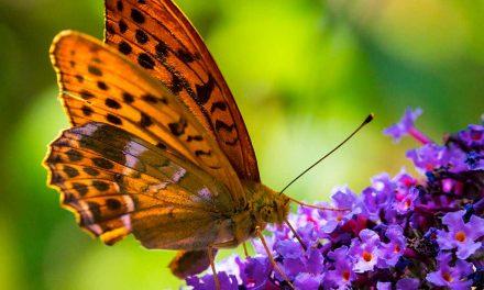 Wie lockt man Schmetterlinge an? – Der Schmetterlingsgarten