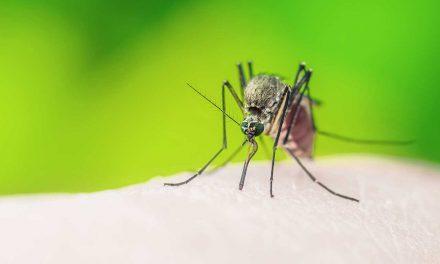 Lästige Blutsauger: Gelsen (Mücken)