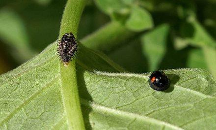 Neu im Garten eingezogen: schwarze Zweipunkt-Marienkäfer