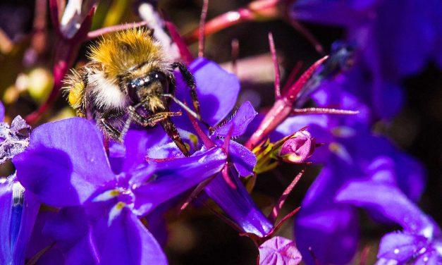 Farbenfrohe Nahrung für Bienen, Hummeln und andere Insekten