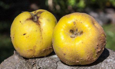 Herbstliche Obsternte – Von Äpfeln, Birnen, Quitten und mehr