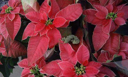 Weihnachtssterne aus der Produktion der Bundesgärten