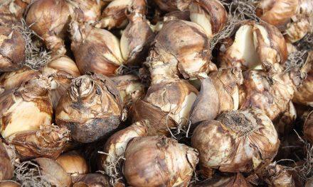 Pflanzzeit, Kauf und Lagerung von Zwiebelblumen