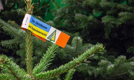 Bio-Christbäume bleiben länger grün