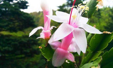 Blütenpracht des Weihnachtskaktus