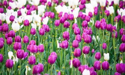 Tulpen: bunte Pracht für gute Laune im Frühjahr