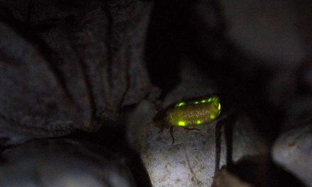 Glühwürmchen (Leuchtkäfer) im Naturgarten