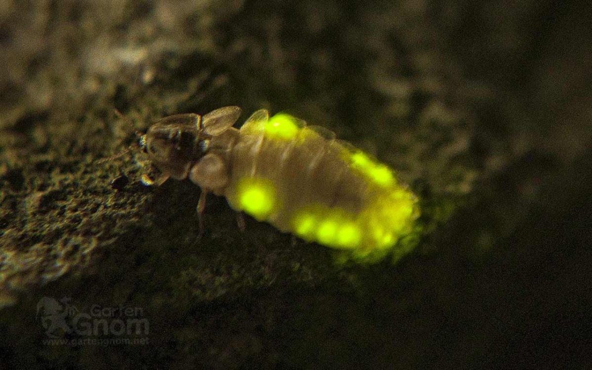 Glühwürmchen Weibchen
