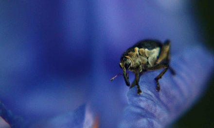 Schwertlilienrüssler: Ein Leben auf der Blüte