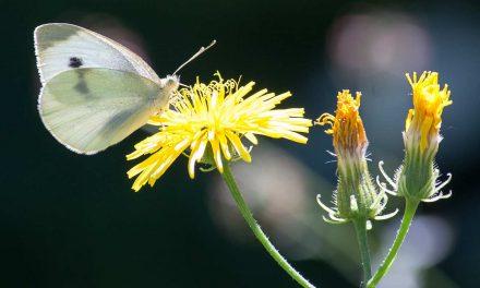 Kohlweißling – Gefräßige Raupe, wunderschöner Schmetterling