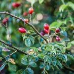 Herbstliche Hagebutten-Marmelade (Hagebutten-Konfitüre)