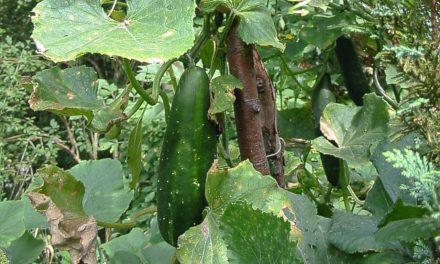 EHEC Keime – Gedanken zu Gemüse aus Garten und der Region
