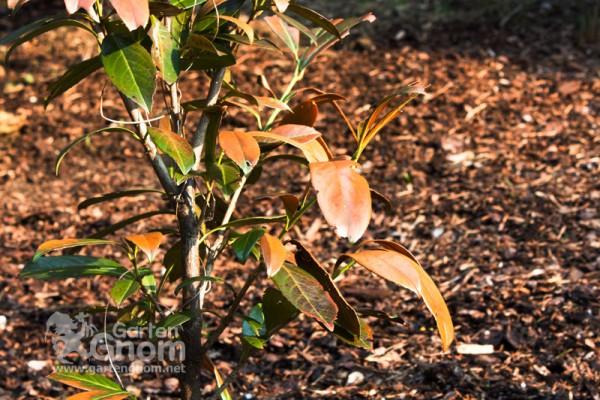 Lorbeer mit braunen Blättern aufgrund eines Frostschadens.