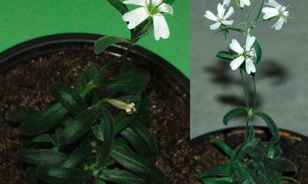 Silene stenophylla: Wiederbelebung nach 31.800 Jahren