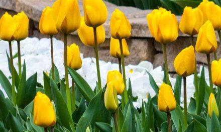 Warum werden meine Tulpen von Jahr zu Jahr kleiner oder verschwinden?