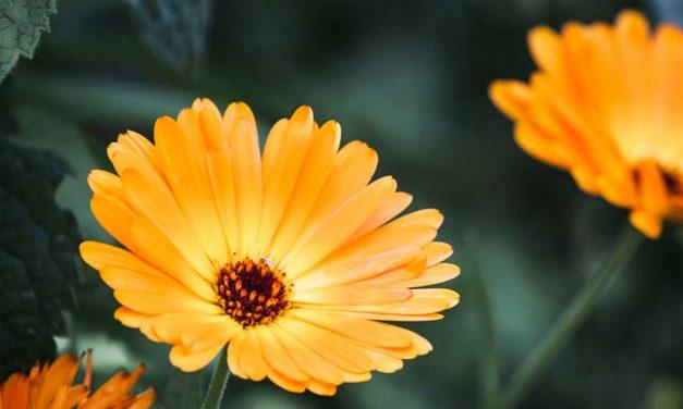 Die Ringelblume: schöne und anspruchslose Heilpflanze