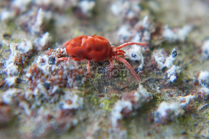 Rote Samtmilbe
