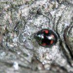 Marienkäfer gegen Tannenstammläuse – Der Naturgarten heilt sich selbst
