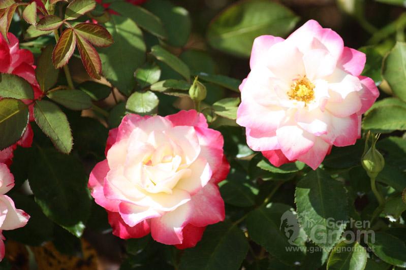 Rose: Blumenstadt Tulln