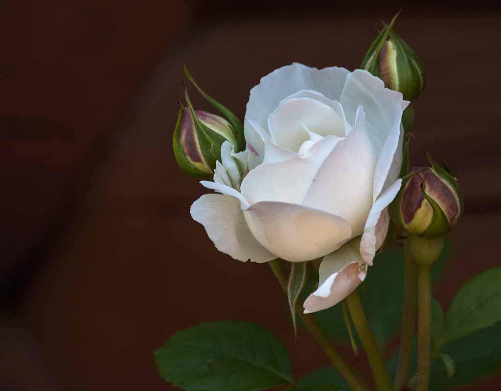 Rosen: Gartenrosen und Rosengarten