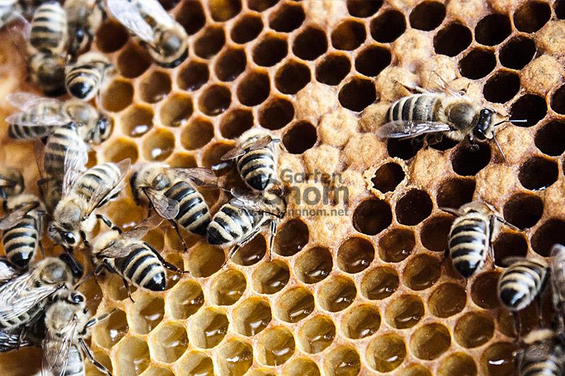 Arbeitsbienen im Stock