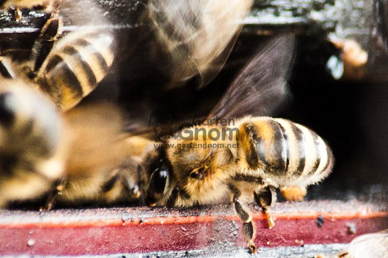 Arbeitsbiene beim Kühlen des Stockes
