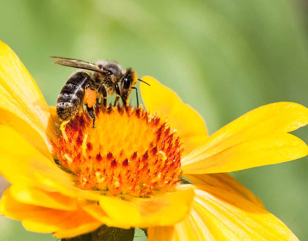 Das Leben einer Arbeitsbiene: Ein Leben für Volk und Königin