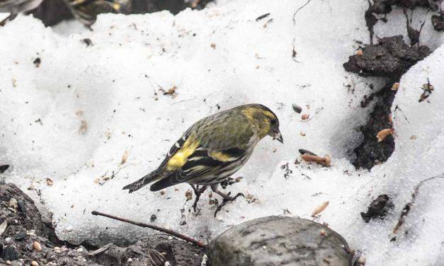 Zugvögel: Langer Winter 2013 wird zur Todesfalle