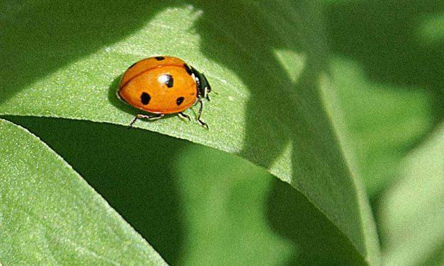 Marienkäfer zur Blattlausbekämpfung anlocken