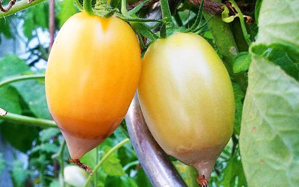 Blütenendfäule: Wenn die Tomate an der Spitze fault