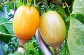 Blütenendfäule bei unseren Tomaten (Paradeisern)