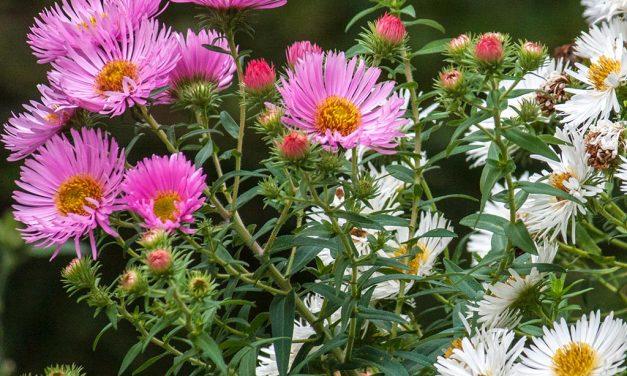 Meine liebsten Rauhblattastern (Herbstastern)