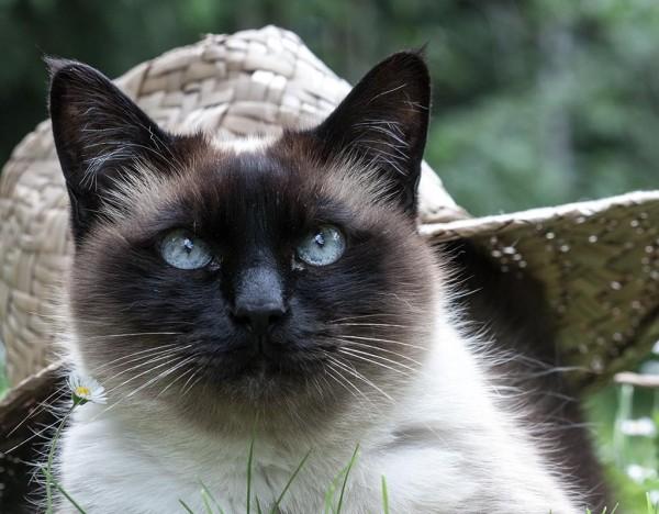 Katze mit Strohhut im Garten
