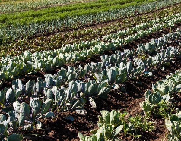 Gemüse auf dem Feld: Starkzehrer und Schwachzehrer