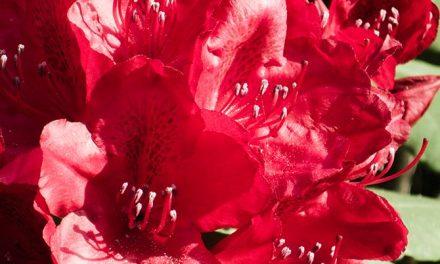 Rhododendren – Freunde des Waldes