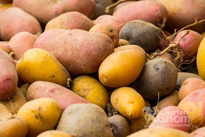 Kartoffelernte mit unterschiedlichen Sorten.