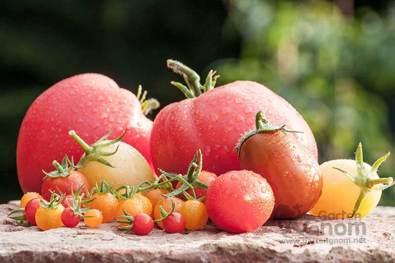 Tomaten existieren in den unterschiedlichsten Größen, Formen und Farben.