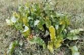 Unkraut vergeht nicht: Über Beikräuter und Zeigerpflanzen