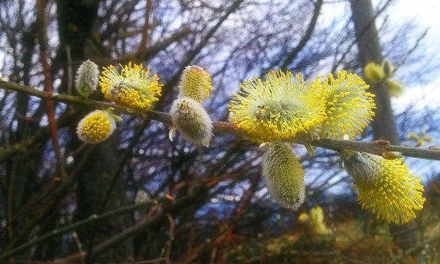 Palmkätzchen: Frühes Bienenfutter