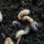 Larven in der Pflanzerde: Rosenkäfer, Maikäfer oder Junikäfer?