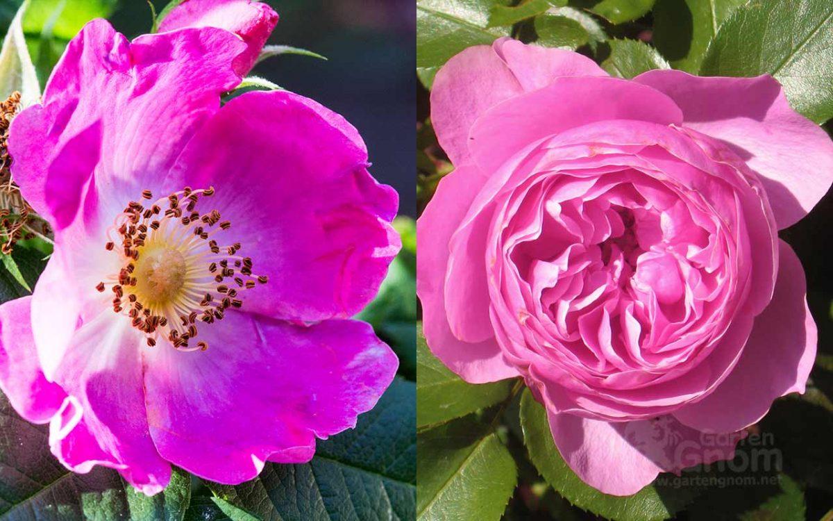 einfach blühende rosen