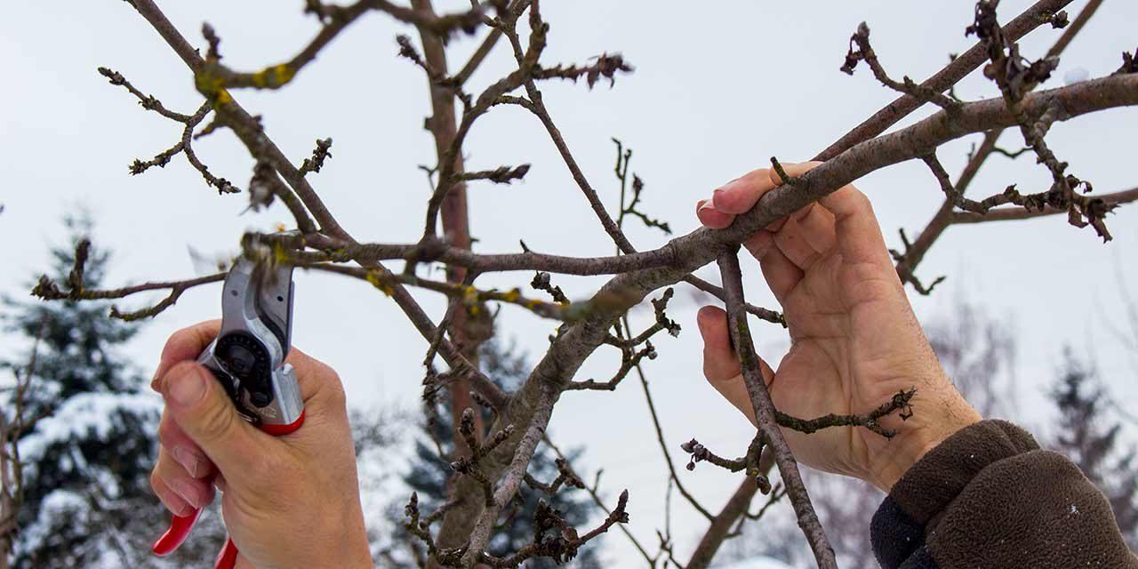Sanfter Obstbaumschnitt
